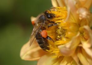Bi i gul blomma